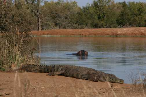 Walking in the bush with hippos and croc - Hlane Royal National Park, Swaziland.