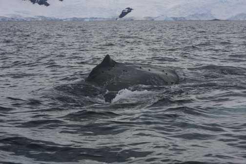 humpback whale - willamenia bay