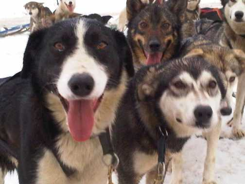 Our team of dogs