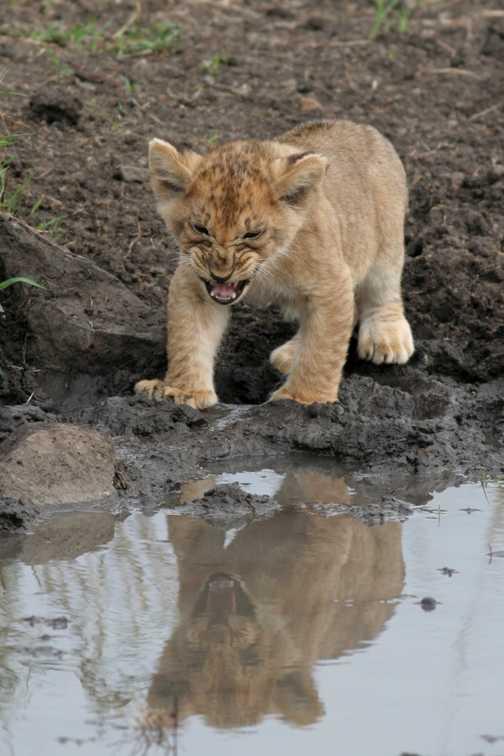 Lion cub pulling faces