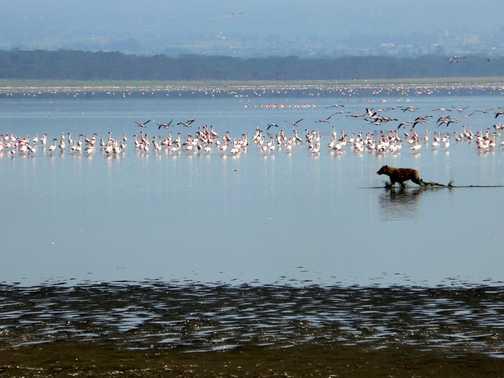 I want a flamingo for breakfast - lake nakuru