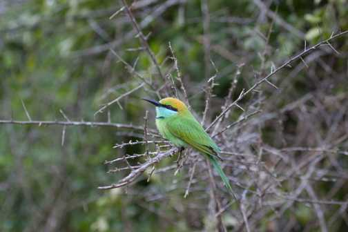Bee eater in twigs