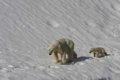 Polar Bear and Cub against Glacier