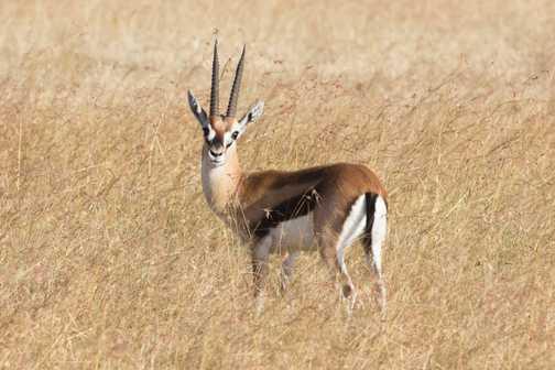 A curious Thomson's Gazelle - Masai Mara