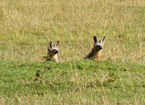 Shy Bat eared foxes