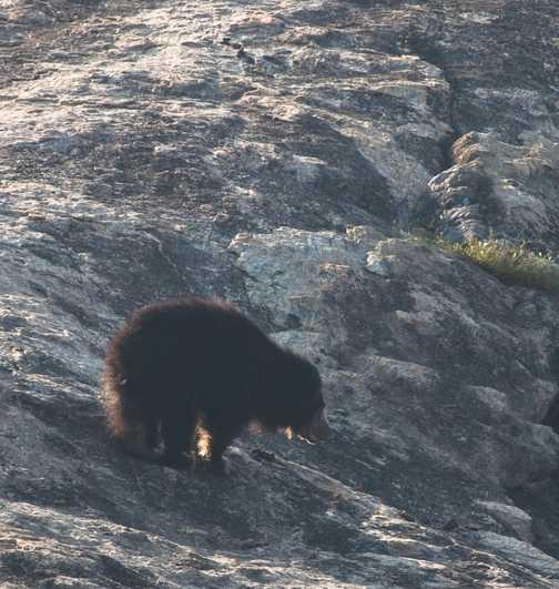 Sloth bear 1
