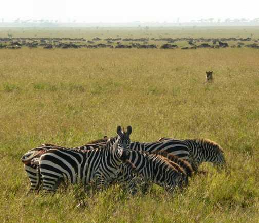 Zebra alert