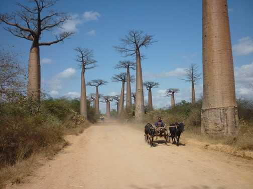Alley of the Baobabs, near Morondava