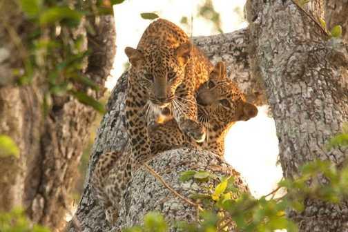 Playful Leopards - Sri Lanka