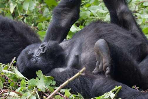 Meeting the gorillas