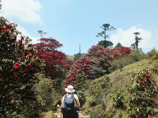 trekking through the rhodendenrens