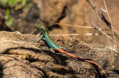 Lizard at Bourke's Luck Potholes