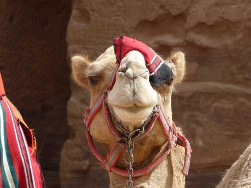 Pirate camel
