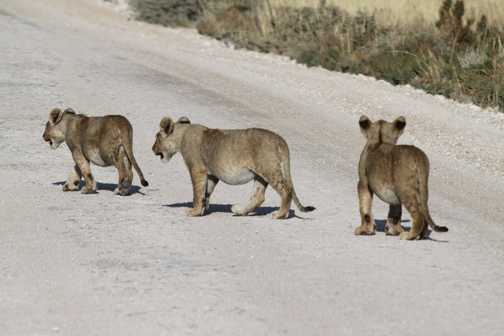 ...with three cubs