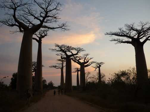 Sunset at Alley of the Baobabs