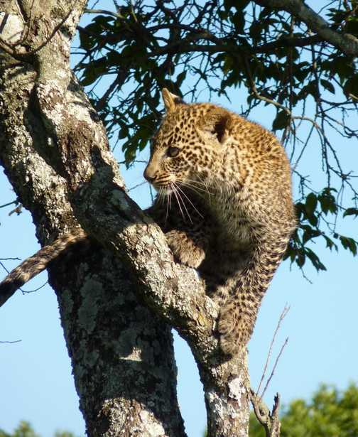 Young leopard climbing a tree