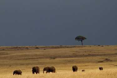 Elephants against a storm