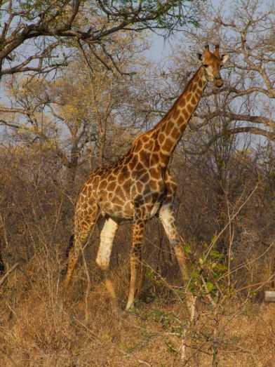 Giraffe during game walk