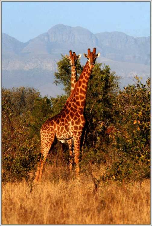 Male Giraffes - Edeni