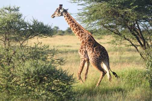 Masai giraffe - Serengeti