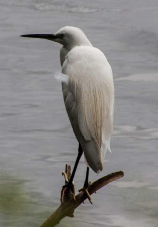 White heron on the nile