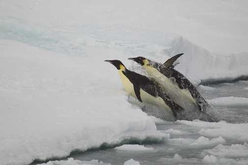 Emperors Jumping from the Icy Weddell Sea