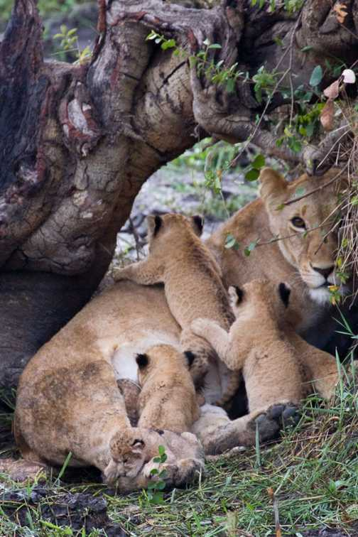 A lioness and 5 cubs, only 2 of which are hers