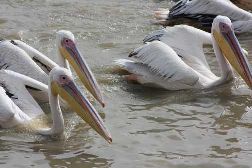 Pelicans feeding in Djoudj