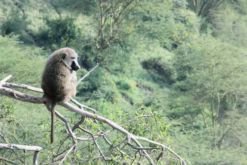 Female olive baboon & baby - Baboon Cliffs, L Nakuru