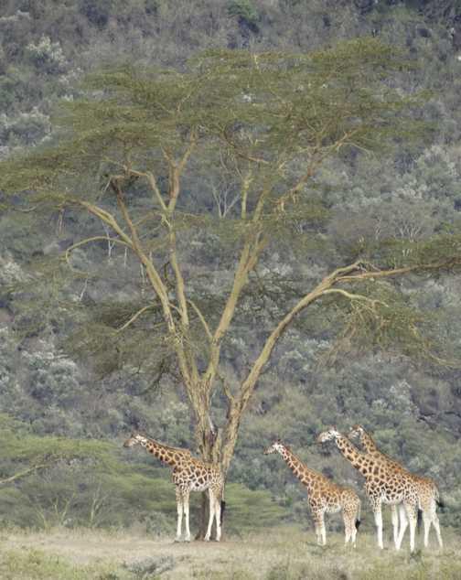 Lion, Nakuru