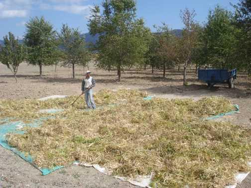 Farmer culling sweetcorn husks