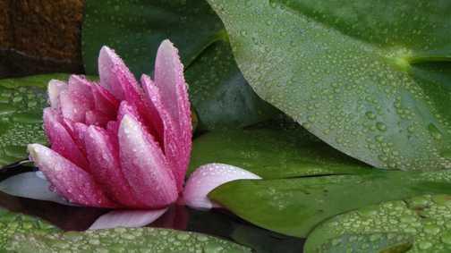 A water lily in Trebon