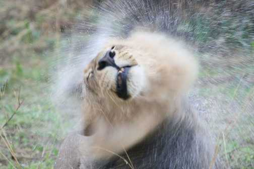 a very wet lion
