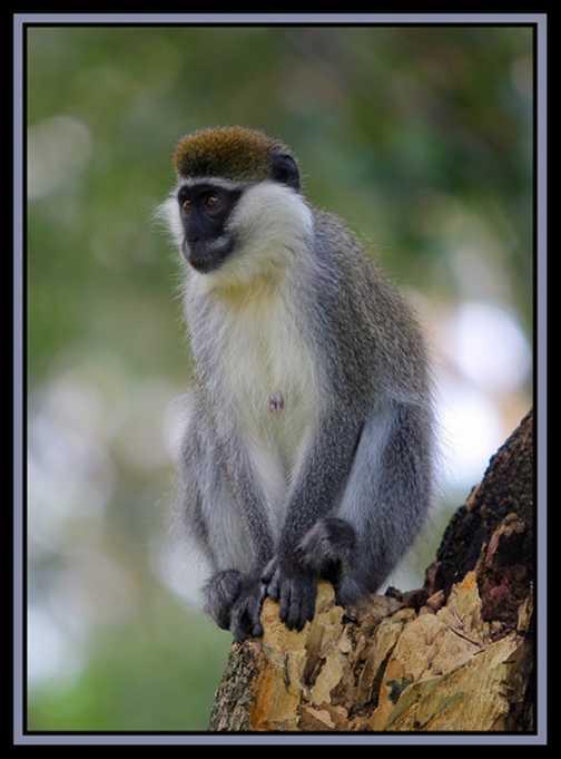 Primate1
