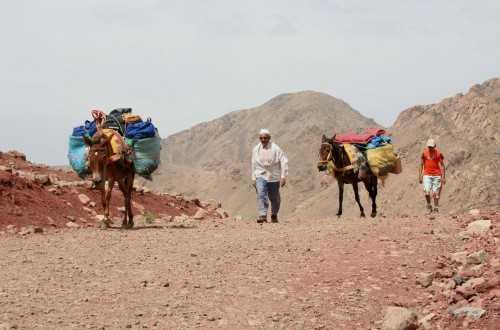 The faithful mules