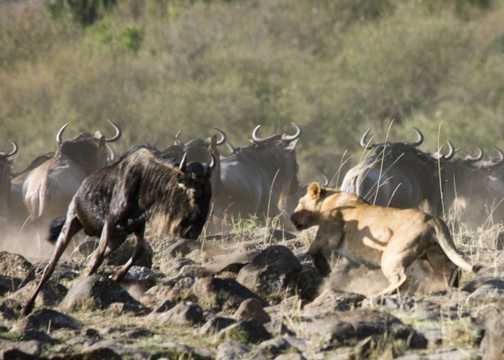 Lion and wildebeast standoff