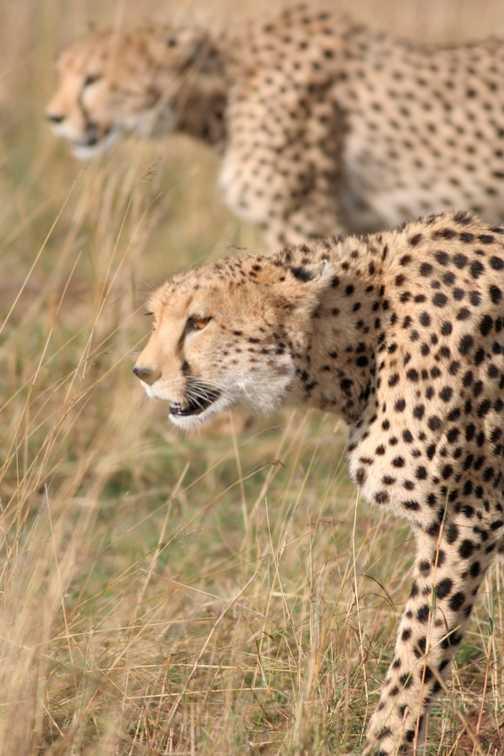 Cheetahs mirroring