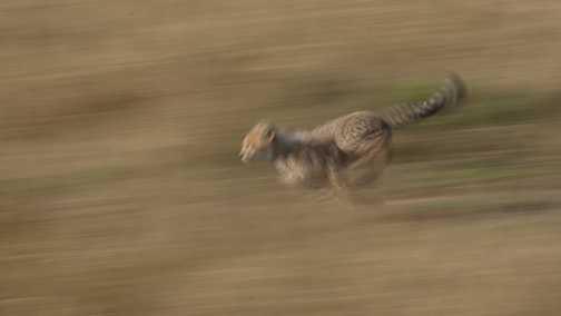 Cheetahs 5