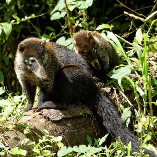 Coati adult and juvenile