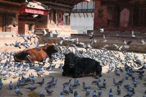 Cows in Kathmandu