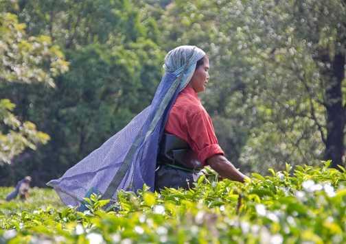 Picking Tea - 2