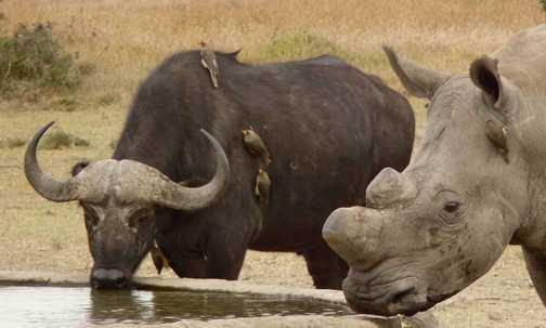 SW Rhino Max with Buffalo