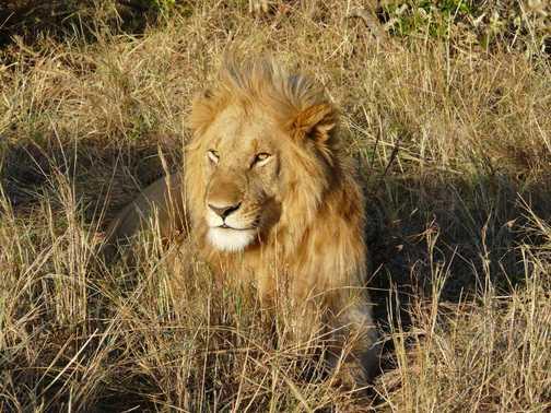 Lion - Masai Mara 2