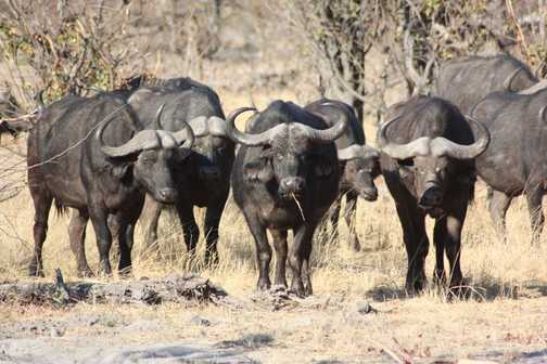 Buffalo herd - Linyanti