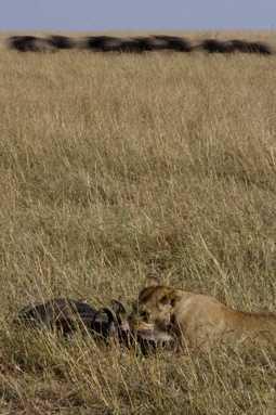 Wildebeest wander at their peril through the lion's larder.