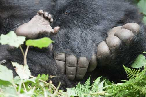 gorilla playtime
