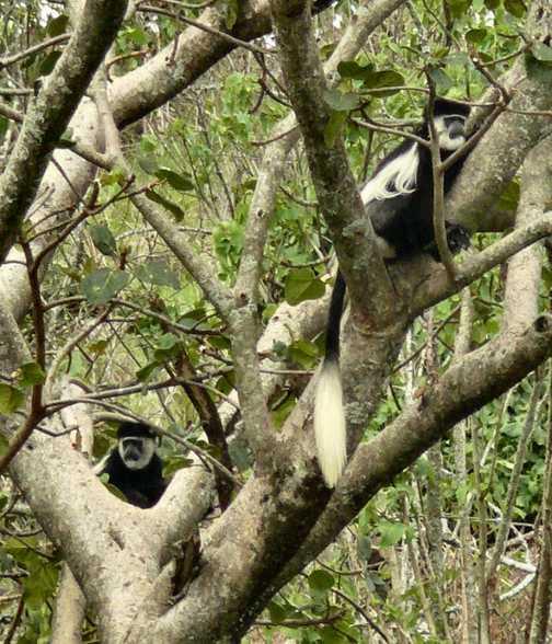 Black colobus at Nakuru