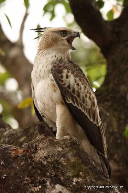 Juvenile Changeable Hawk Eagle