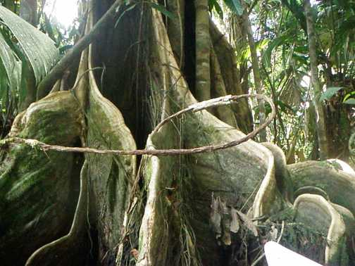 Buttressed Tree - Tortuguero
