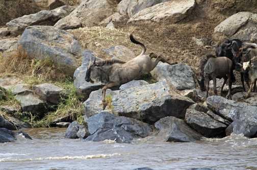 Wildebeest Air